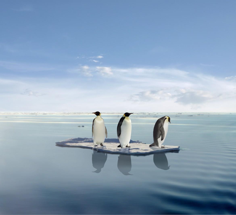Pinguinii regali sunt in pericol din cauza incalzirii globale